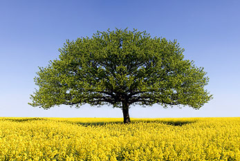 Oak tree in field of oilseed rape.